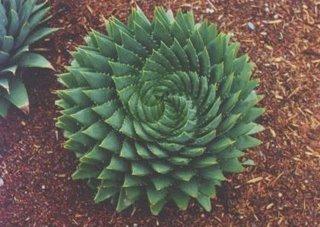 cactus frattale